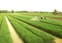 Có được chuyển đất trồng lúa sang đất ở?